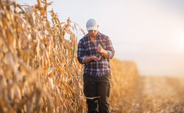 Young farmer examine corn seed in corn fields Stock Photo