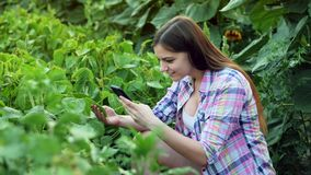 Young farmer examining plant leaves, photographs a leaf on the mobile phone, work on the field on sunset stock footage