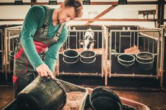Young farmer feeding calf in the cowshed in dairy farm stock photos
