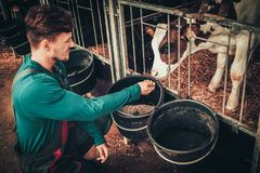 Young farmer feeding calf in the cowshed in dairy farm royalty free stock photos