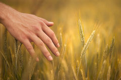 Young farmer in field touching his wheat ears Stock Photo