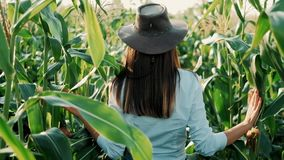 Young farmer girl in a hat, on a corn field, goes through the tall corn stalks in the sun. Cultivation of agricultural products. O