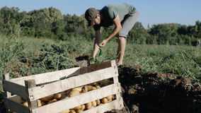 Young farmer harvesting potatoes in bucket on the field at organic farm. Wood box with potato and farmer harvesting potatoes on the field at organic farm on the Royalty Free Stock Photo