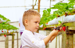 Young farmer harvesting strawberries in greenhouse. Cute young boy harvesting strawberries in greenhouse Royalty Free Stock Photography