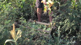 Young farmer harvesting sweetcorn cobs and putting it in wooden box stock video