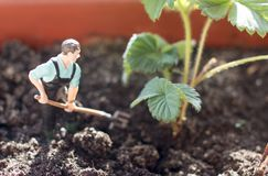 Young farmer harvests royalty free stock image