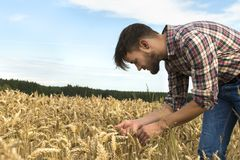 Young farmer inspecting crop Royalty Free Stock Photo