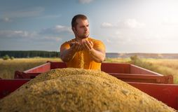 Young farmer looking at corn grains in tractor trailer Stock Photos