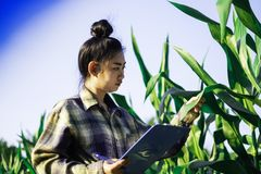 Young farmer observing some charts corn in filed, Eco organic modern smart farm technology concept