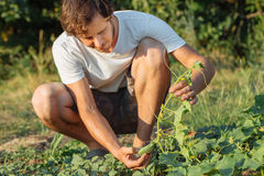 Young farmer picking organic cucumbers at eco farm. Young farmer checking and picking ripe organic cucumbers at field of eco farm Royalty Free Stock Photos