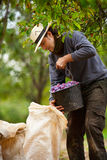 Young farmer at plum harvesting Stock Image