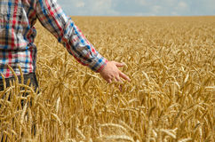 A young farmer's hand above a wheat field with selective focus. Royalty Free Stock Photography