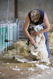 Young farmer shearing sheep for wool in barn Royalty Free Stock Images