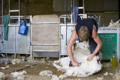 Young farmer shearing sheep for wool in barn Stock Images