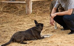 Farmer sitting on the sawdust hugging one of his dogs while another is resting royalty free stock photography