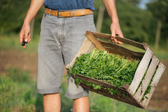 Young farmer standing on the field and holding wood box with parsley plant. Closeup young farmer standing on the field and holding wood box with fresh harvest of Stock Photo