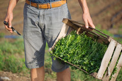 Young farmer standing on the field and holding wood box with parsley plant. Closeup young farmer standing on the field and holding wood box with fresh harvest of Stock Image