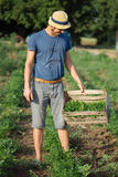 Young farmer standing on the field and holding wood box with parsley plant. Young farmer in hat standing on the field and holding wood box with fresh harvest of Royalty Free Stock Images