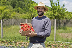 Young farmer in strawberry field holding a cardboard box full wi Royalty Free Stock Image