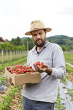 Young farmer in strawberry field holding a cardboard box full wi Royalty Free Stock Images
