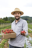 Young farmer in a strawberry field presenting his harvest, red Stock Photography