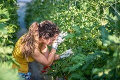 Free Young Farmer Woman Holding Leaf Of The Tomato Plant Vegetable Looking For Insects And Vegetable Checking For Diseases On The Leaf Stock Images - 190477204