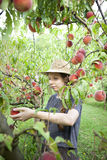 Young farmer woman with plait and straw hat who gathers peaches from tree Stock Photos
