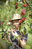 Young farmer woman with plait and straw hat who gathers and taste fresh peaches from tree Stock Image