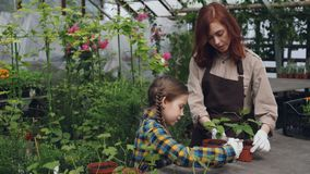 Young farmer is working in greenhouse stirring soil in pot while her helpful daughter is helping her using gardening. Young farmer is working in greenhouse stock footage