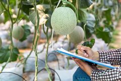 Young farmers are analyzing the growth of melon effects on greenhouse farms stock photo
