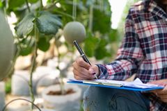 Young farmers are analyzing the growth of melon effects on greenhouse farms, Agronomist Using a Tablet in an Agriculture Field stock photography