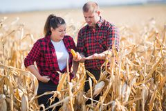 Farmers in corn fields during harvest Royalty Free Stock Images