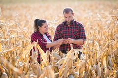 Farmers in corn fields during harvest Stock Photos