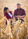 Farmers in corn fields during harvest Stock Images