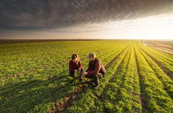 Young farmers examing planted young wheat during winter season stock photo
