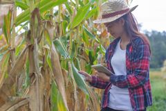 Young farmers are watching the cornfields near harvest. stock image