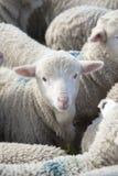 Young fat lamb. royalty free stock photo