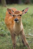 A young fawn Stock Photography