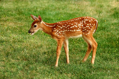 Young fawn Royalty Free Stock Images