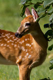 Young Fawn Royalty Free Stock Photography