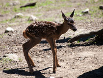 Young Fawn Stock Image