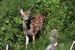 Young fawn in forest. A young deer fawn with white spots in the brush royalty free stock photos