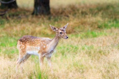 Young fawn Royalty Free Stock Photos