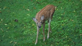Young Fawn Deer Feeds in the Field. 9131 A young deer fawn feeds in the field on an early summer morning stock footage