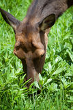 Young fawn deer head, doe grass feeding Stock Images