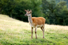 Young fawn deer on a meadow Stock Photos