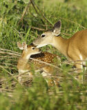 Young Fawn and Doe Interacting. Doe cleaning her fawn before bedding her down stock photos