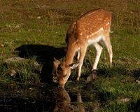 Young fawn of fallow deer, a male drinking water in a forest in Sweden Stock Photography