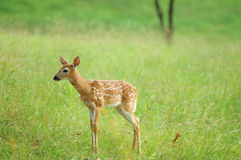 Young fawn in meadow Stock Image