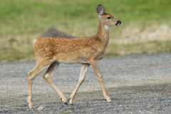Young fawn in park. Royalty Free Stock Photography